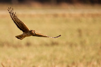 Western marsh harrier / Bruine kiekendief