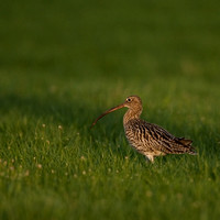 Curlew / Wulp