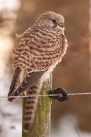 Common Kestrel / Torenvalk
