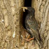 Common starling / Spreeuw