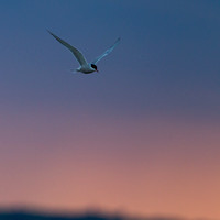 Common tern / Visdief