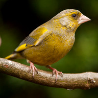 Greenfinch / Groenling